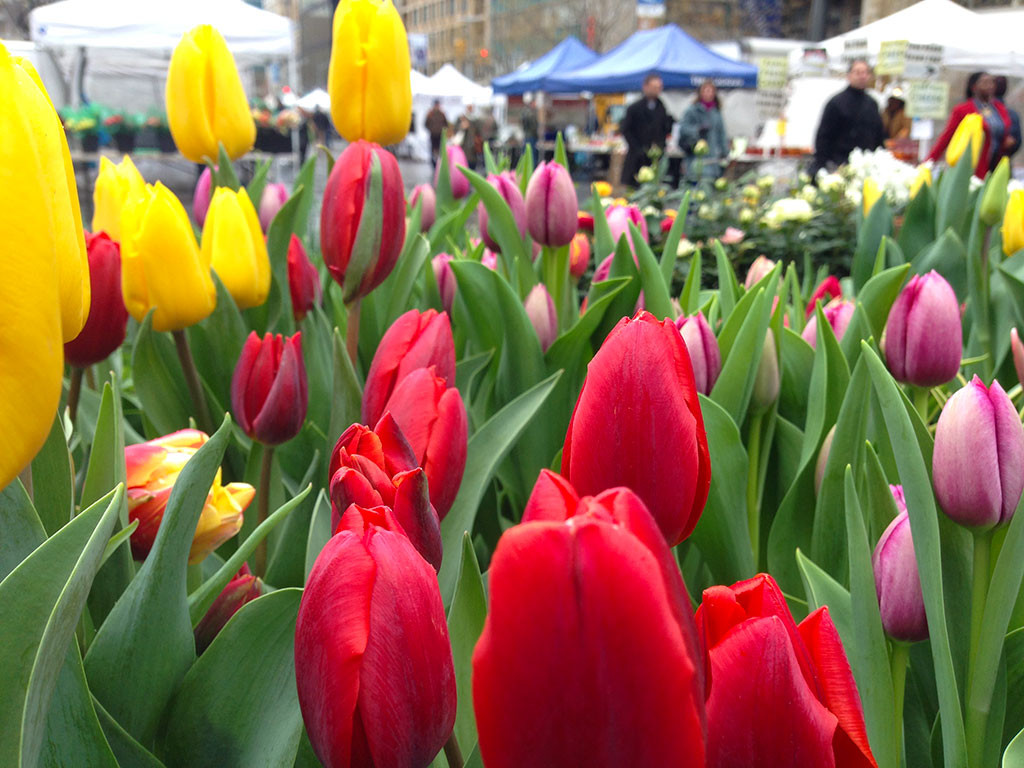 Union Square - Spring Tulips