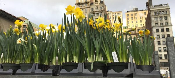 Daffodils - Union Square Greenmarket